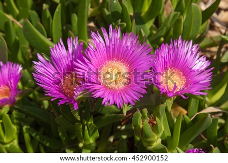 Blossoming chrysanthemums,Purple flowers  - stock photo