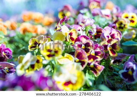 Blossoming colorful pansies in the park - stock photo