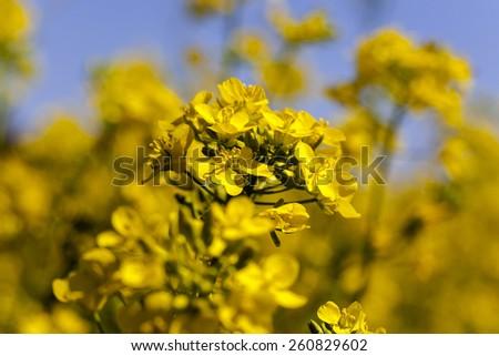 blossoming colza   - stock photo
