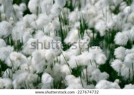 Blossoming cotton-grass - stock photo