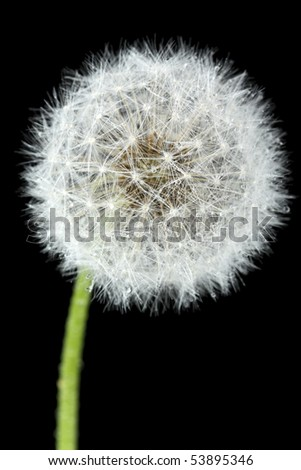 Blossoming dandelion, isolated on black - stock photo