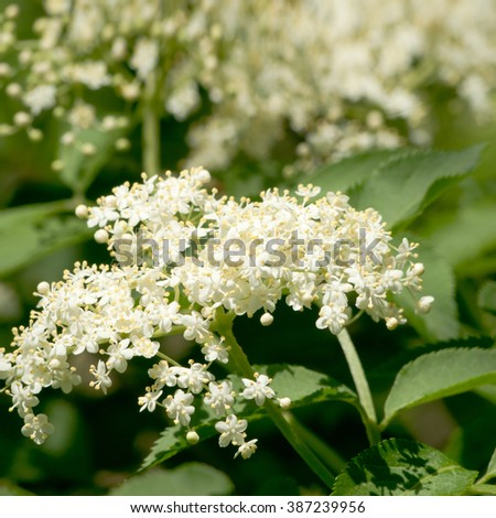 Blossoming elder flower- shallow deep of field, Latin name is sambucus nigra. Medicinal herbs in alternative and traditional medicine.  - stock photo