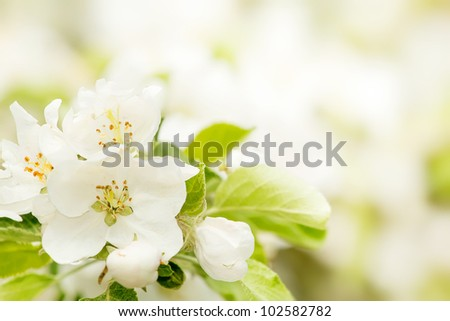 Blossoming flower in spring with very shallow focus - stock photo