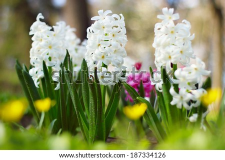 Blossoming hyacinth in the garden - stock photo
