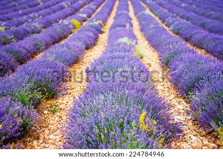 Blossoming lavender fields in rows in Provence, France. On summer sunny day. View on typical landscape.