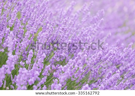 Blossoming lavender in the field in summer day - stock photo