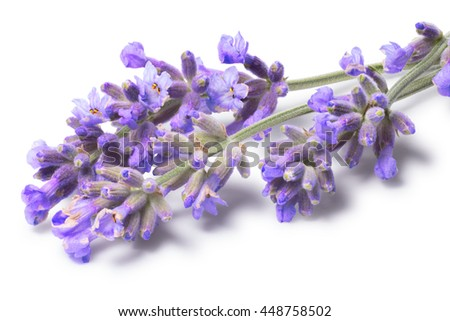Blossoming Lavender (Lavandula). Flowers and shadow separated, clipping paths, infinite depth of field