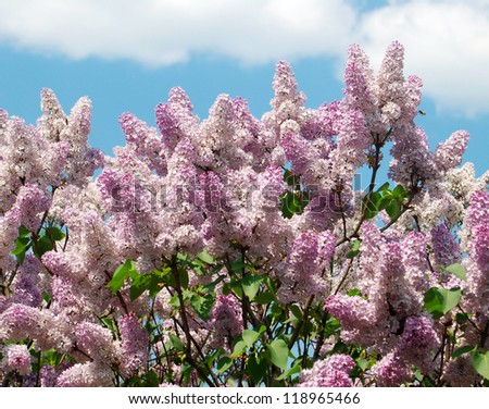 Blossoming lilacs on a background of blue sky - stock photo