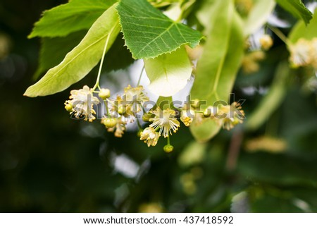 blossoming linden branch in june day - stock photo