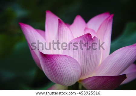 Blossoming lotus flower closeup in summer