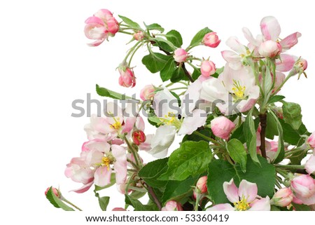 Blossoming may apple-tree macro  postcard background. Isolated on white. - stock photo