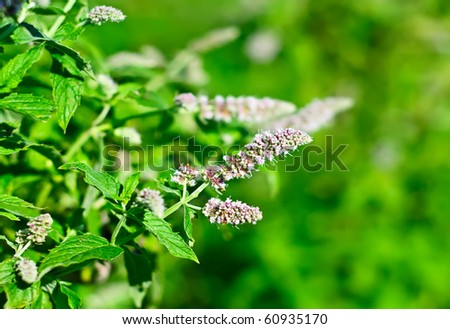 Blossoming of a mint plant in nature
