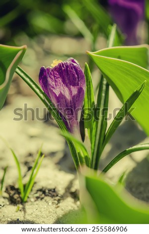 Blossoming of blue purple crocus flower at spring, macro - stock photo