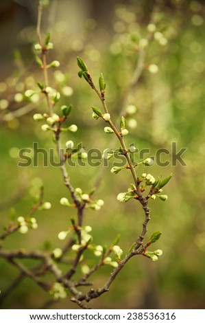 Blossoming of cherry flowers bud in spring time with green leaves, macro - stock photo