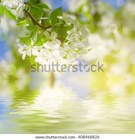 Blossoming of cherry flowers in spring time against blue sky, natural seasonal sunny background with water reflection