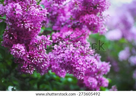 Blossoming of lilac flowers in spring garden. Bright natural colors. - stock photo