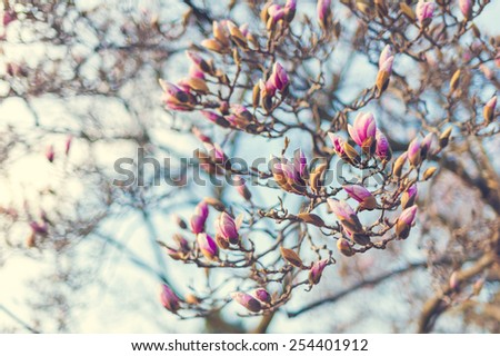 Blossoming of magnolia flowers in spring time, retro vintage image - stock photo