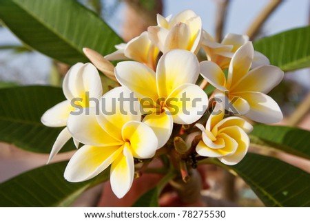 blossoming of magnolia trees during spring. - stock photo