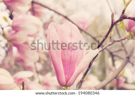 Blossoming of pink magnolia flowers in spring time./Magnolias - stock photo