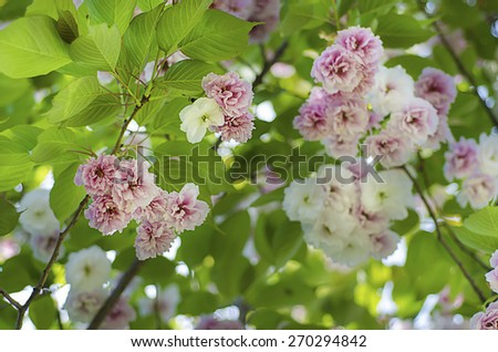 Blossoming of sakura tree flowers, natural floral spring seasonal background - stock photo