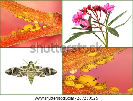 Blossoming oleander plant ( Nerium oleander, Apocynaceae ) and his pests - oleander aphid (Aphis nerii) on the host plant and oleander hawk-moth or army green moth (Daphnis nerii )   - stock photo