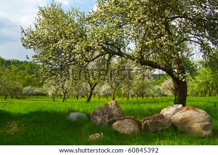blossoming orchard - stock photo