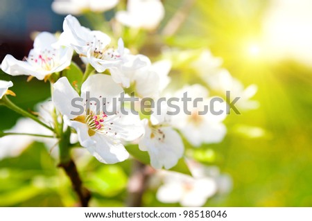 Blossoming orchard. pear