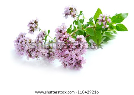 Blossoming oregano (Origanum vulgare) on a white background - stock photo