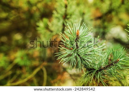 Blossoming pine serene day in May. - stock photo