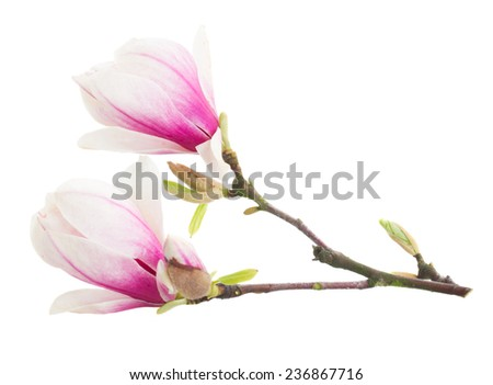 Blossoming pink magnolia  tree flowers against white background
