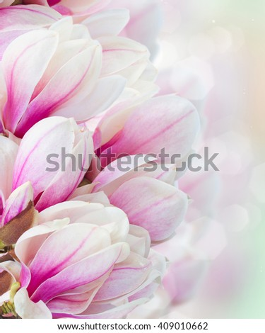 Blossoming pink magnolia  tree flowers close up in garden - stock photo
