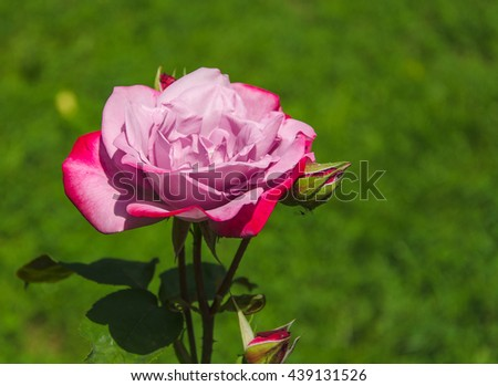 blossoming pink rose in garden - stock photo