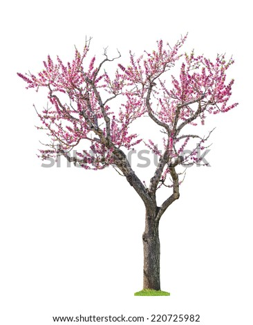 blossoming pink sacura tree isolated on white background  - stock photo