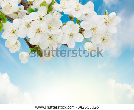 Blossoming plum flowers on sunny blue sky background - stock photo