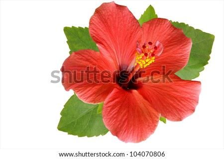 Blossoming red flower of treelike Hibiscus with two petals on pestle, stamens and leaves, isolated on white