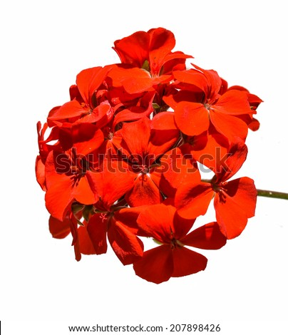 Blossoming red geranium isolated on a white background - stock photo