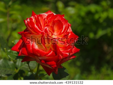 blossoming red rose in garden - stock photo