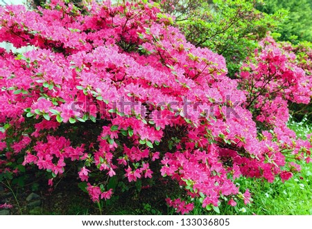 Blossoming rhododendron bush pink flowers closeup stock photo blossoming rhododendron bush with pink flowers closeup mightylinksfo