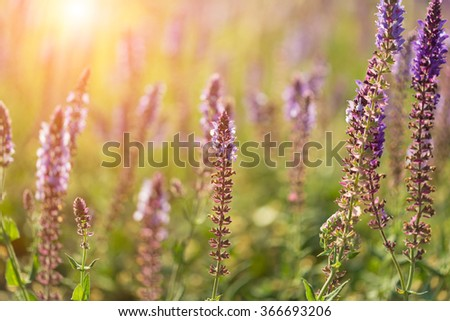 Blossoming sage on a summer meadow - stock photo