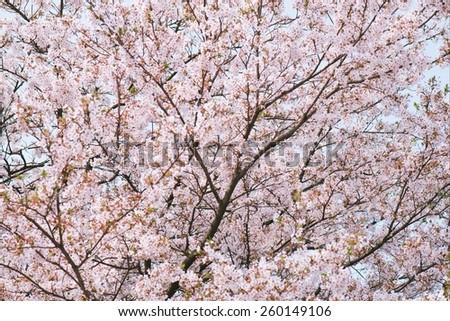 Blossoming sakura  - stock photo