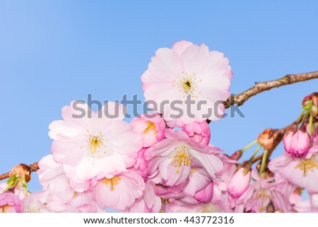 Blossoming season with pink cherry blossoms - stock photo