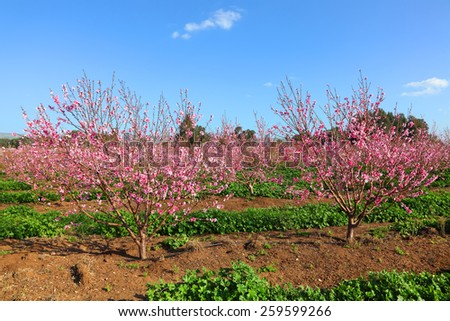 Blossoming spring orchard (garden) landscape. Springtime - pink blooming orchard  - stock photo