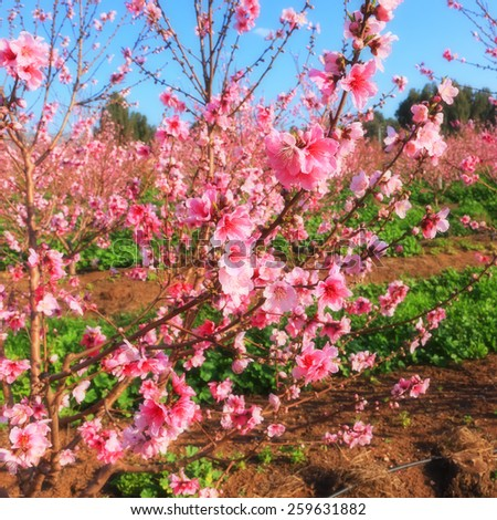 Blossoming spring orchard (garden) landscape. Springtime - pink blooming orchard. Warm toned effect, selective focus (at a branch) - stock photo