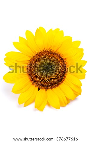 Blossoming sunflower isolated on white background - stock photo