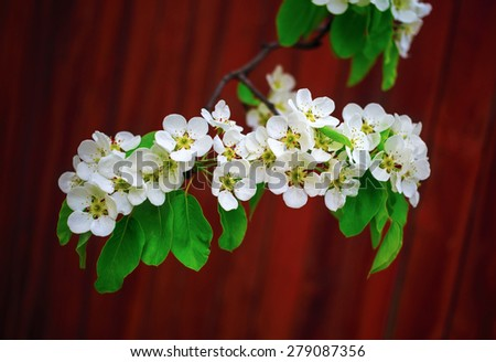 Blossoming tree branch. Beautiful bright white flowers and green leaves on a tree branch on bokeh bright brown background. Shallow depth of field. - stock photo