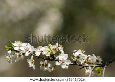 Blossoming tree brunch with white flowers on bokeh  background with space for text. - stock photo