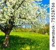 Blossoming tree in spring on rural meadow - stock photo
