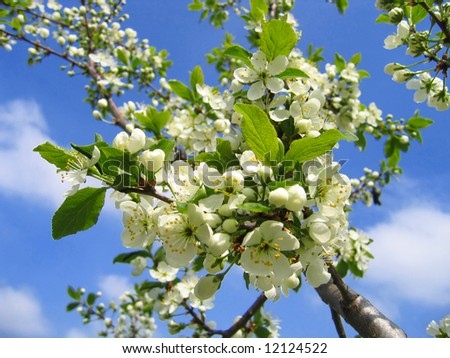 Blossoming tree with white flowers on sky background - stock photo