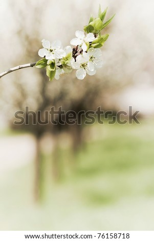 Blossoming twig of plum-tree - stock photo