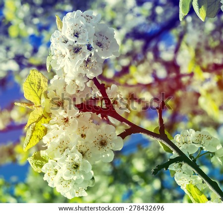 Blossoming white cherry tree. Image was toned for inspiration of warm vintage style - stock photo